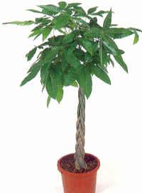 Aiuto trovatella sconosciuta forum di - Pachira pianta ...